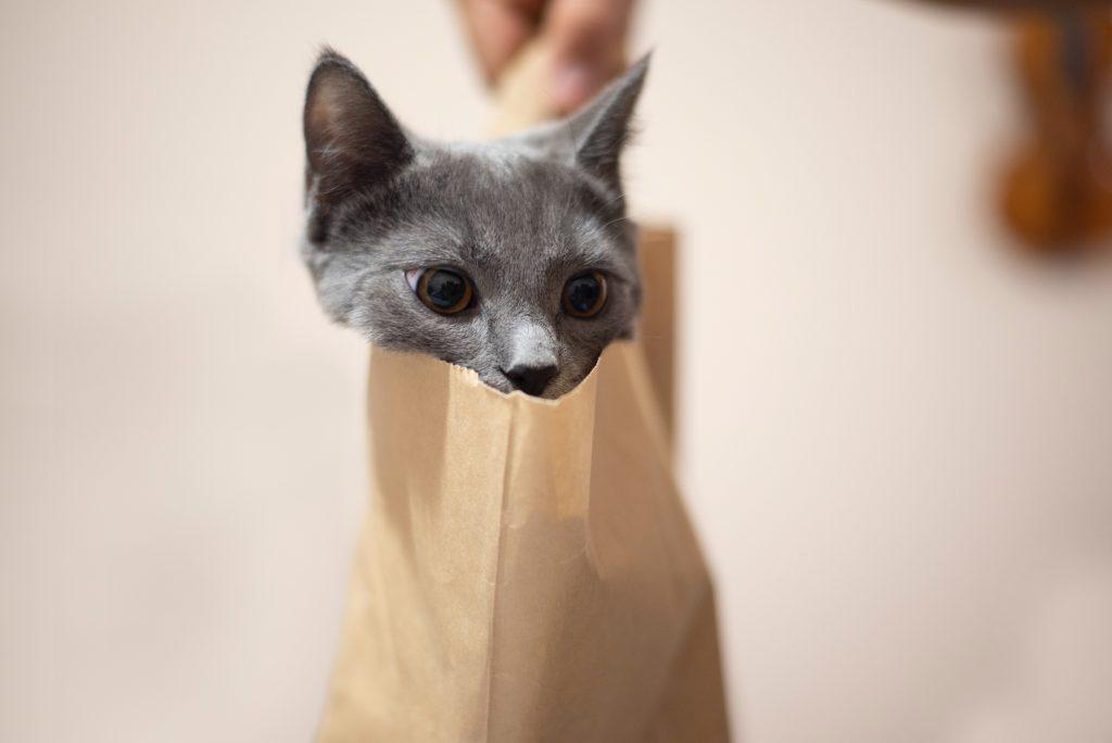 Brit-rovidszoru-macska-pic1