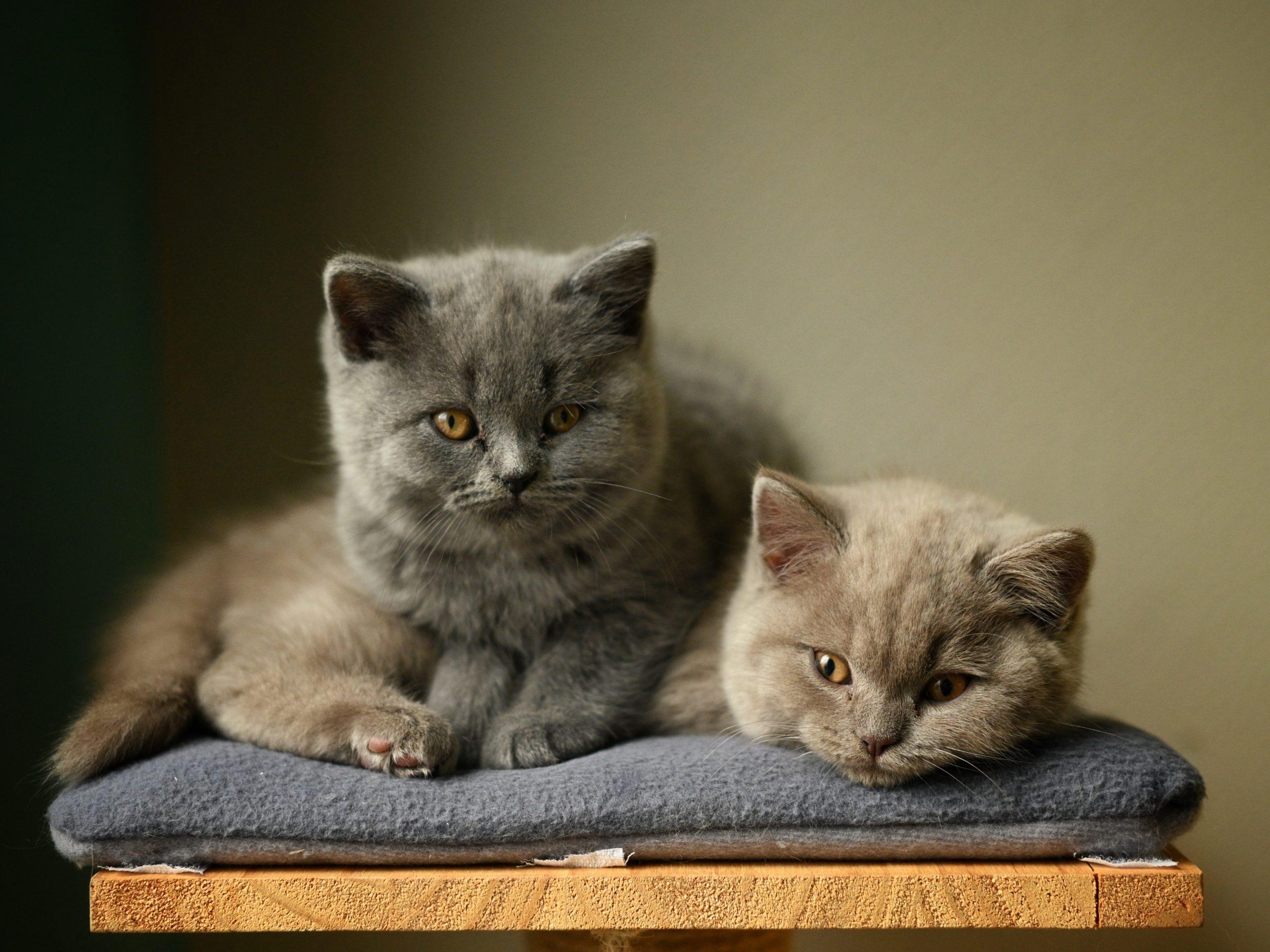 Brit-rovidszoru-macska-pic3